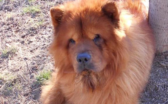 Chow au coeur Association de Protection Animale située à Villeblevin (dans le 89).