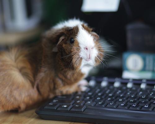Adopter un cochon d'Inde en association Yvelines